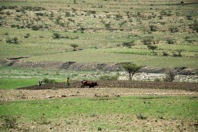 Pflug, Ochsen, Mensch - Plow, oxen, man, Near Wukro, Ethiopia