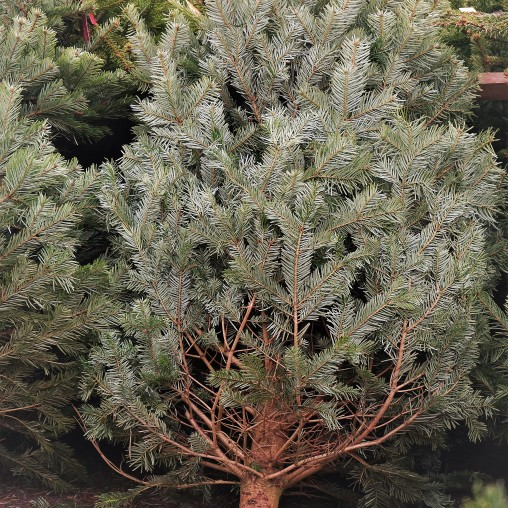 weihnachtsbaum5